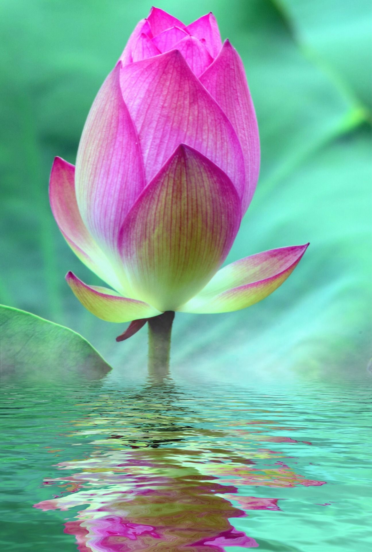 lotus-2573625_1920 hot pink vertical Pixabay 031221